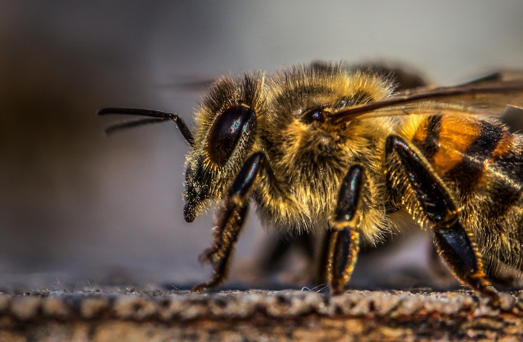 Close up of a honey bee head and thorax.